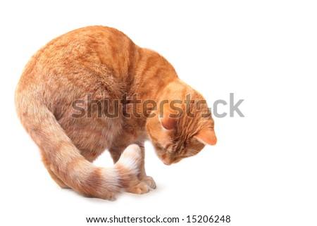 ginger cat on white background
