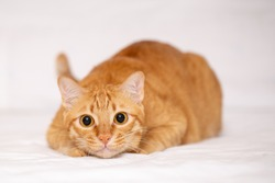 Ginger cat or orange crazy surprised cat make big eyes closeup over white cloth background.
