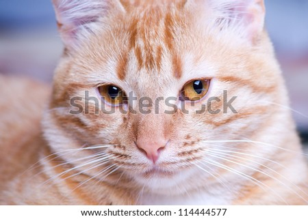 Ginger cat portrait studio shot