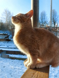 Ginger cat sits on the wooden railing of the terrace on a sunny day in winter