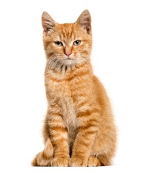 Ginger cat, sitting, isolated on white