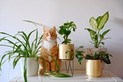 Ginger cat sitting near a set of green potted houseplants (peperomia, spider plant, dieffenbachia) on white wall background at home. Growing indoor plants, urban jungle