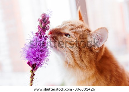 Ginger cat smells a bright lilac flower. Cozy spring morning at home. Cute background.