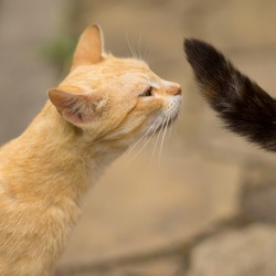 Ginger cat sniffs the black tail of his beloved cat. The behavior of cats in the mating season