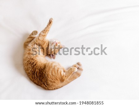 Ginger cat stretching in bed on a white blanket. The cat lies on its back and shows a dab gesture with its paws. Stock foto ©