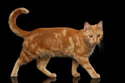Ginger cat walking and curious looks at side on Isolated Black background