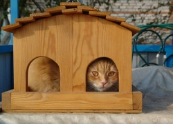 Ginger cat with amber-colored eyes hiding in a wooden bird feeder. Orange cat playing hide and seek in the garden