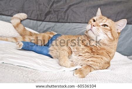 ginger cat with broken leg