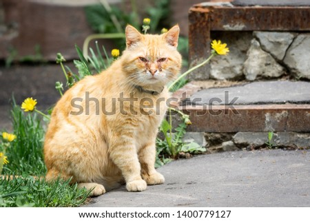 Ginger cat with conjunctivitis. Eye infection in cats. Feline Respiratory Disease Complex #1400779127