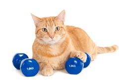 Ginger cat with two dumbbells of 1,5 kg, isolated on white