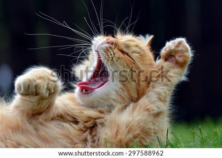 Ginger cat yawns