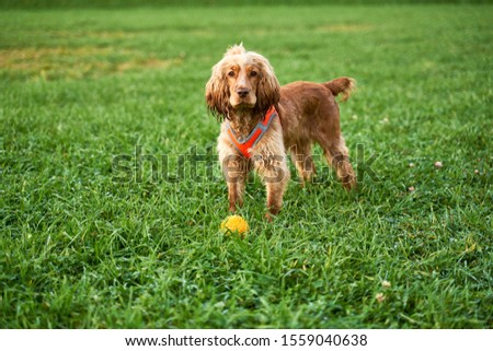 Ginger color curly Spaniel stands on green grass, looks closely at camera, waiting for team, wagging his tail. Close-up portrait of dogs muzzle. Walking pet in autumn. Horizontal shot of animal