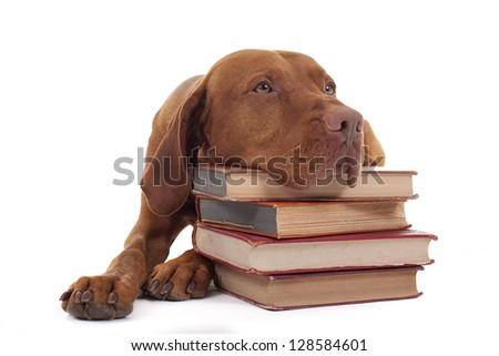 ginger color vizsla resting head on a pile of books isolated on white background