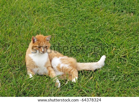Ginger coloured farm cat lays in the grass