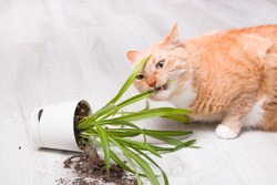 ginger cute fluffy cat nibbles a fallen green plant in a pot, light wooden floor, soil fell out of the pot, copy space, cleaning concept, cat eats grass, cat's mouth with teeth