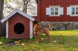 Ginger dog stands near his house and guards a private yard in autumn day. Red dog on a leash is tied to the booth and barks and howls. The dog protects private territory and its owners.