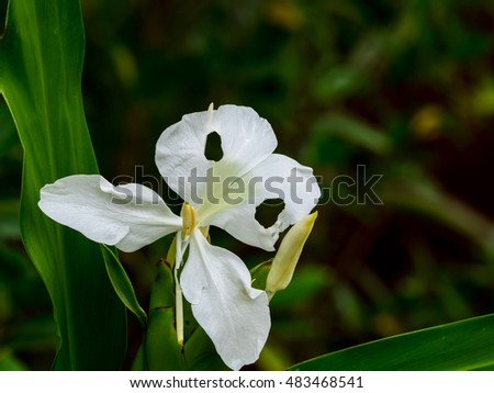 Free Photos White Ginger Flowers In Fort Canning Park In Singapore