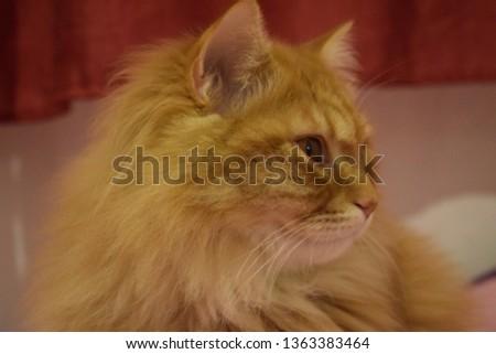 Ginger fluffy cat  #1363383464
