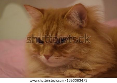 Ginger fluffy cat  #1363383473