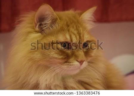 Ginger fluffy cat  #1363383476
