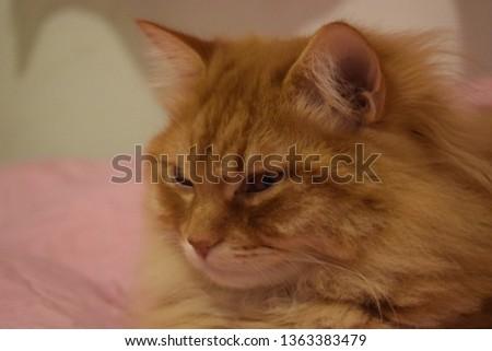 Ginger fluffy cat  #1363383479