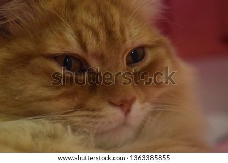 Ginger fluffy cat  #1363385855
