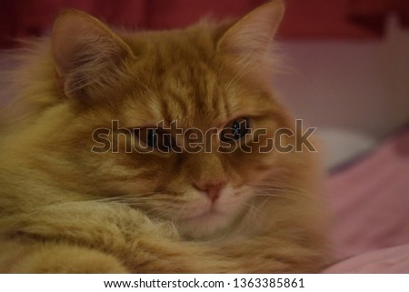 Ginger fluffy cat  #1363385861