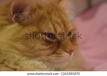 Ginger fluffy cat  #1363385870