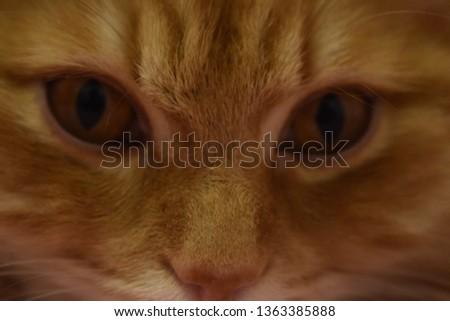 Ginger fluffy cat  #1363385888