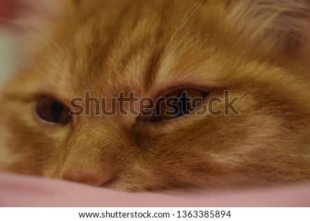 Ginger fluffy cat  #1363385894