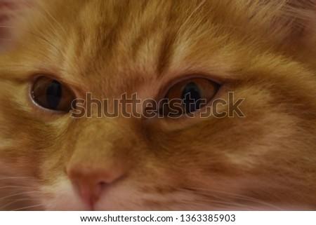 Ginger fluffy cat  #1363385903