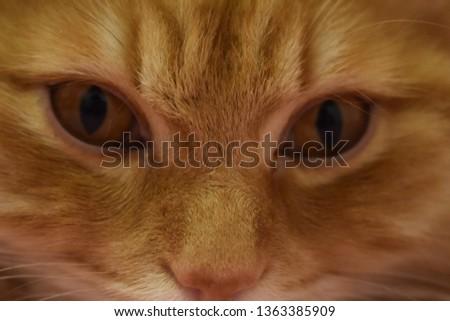 Ginger fluffy cat  #1363385909