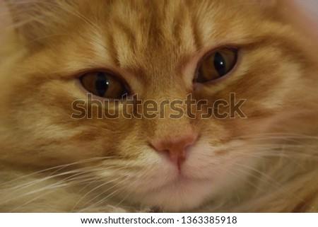 Ginger fluffy cat  #1363385918
