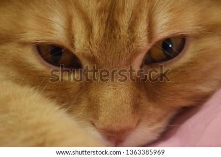 Ginger fluffy cat  #1363385969