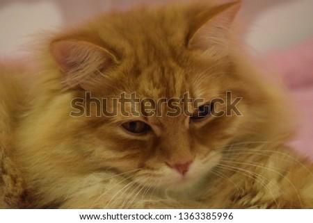 Ginger fluffy cat  #1363385996