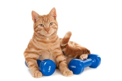 Ginger gym cat with two dumb bells, isolated on white