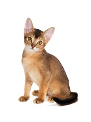 ginger kitten Abyssinian breed on white background, red cat with yellow eyes sitting