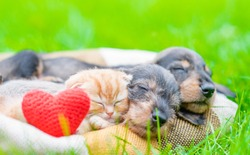 Ginger kitten and two dachshund puppies sleep together on a plaid on green summer grass