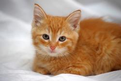 ginger kitten on a light background