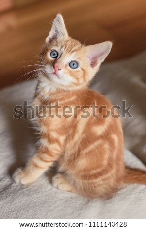 Ginger kitten with piercing blue eyes in a playful mood