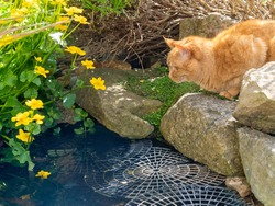 Ginger marmalade short haired cat crouches alert on rocks at the end of a fish pond. A floating plastic bird and animal barrier stops fishing. Yellow marsh marigolds flower in shade at the edge.