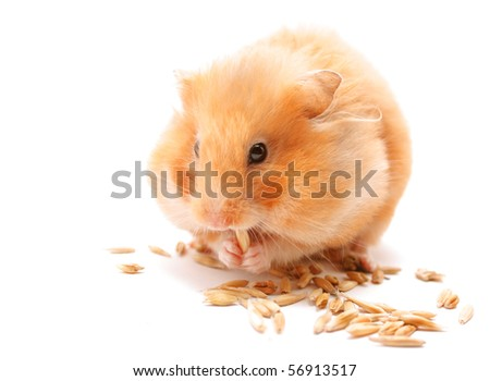 ginger pets hamster eats corn on isolated white background
