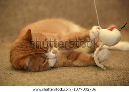 Ginger plump cat lies plays catches