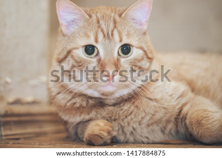 Ginger Red Cat at Home #1417884875