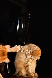 Ginger Red Cat Playing with Mirror Reflection