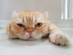 Ginger Scottish Fold tabby cat looking straight into the camera feeling grumpy like having Monday blue