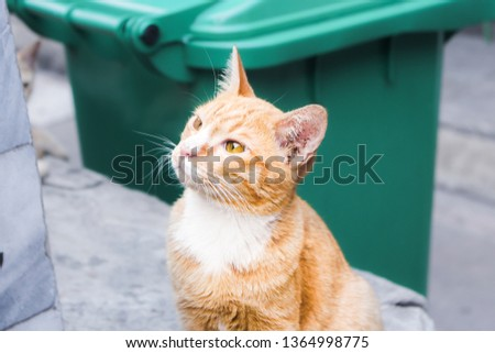 Ginger stray cat in old temple (Wat Pho) in Bangkok, Thailand curiously looking at something with upturned eyes