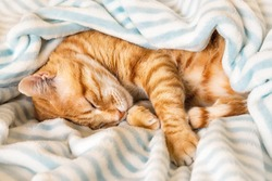 Ginger tabby cat curled up and peacefully napping under a soft striped blanket. Domestic red cat sleeping on its side on a warm plaid in a bed. Pet everyday life. Top view.