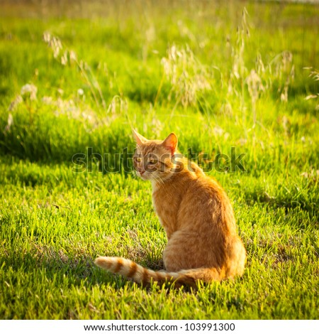Ginger tabby cat sitting in grass on a warm summer evening