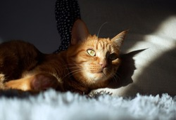 Ginger tabby cat with green eyes lying on the gray couch in the sunlight and looking straight. Light and shadow concept.